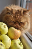 Cat sniffs apple Royalty Free Stock Image