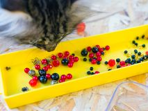 The cat sniffs the beads. royalty free stock image