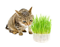 The cat sniffs the fresh grass Royalty Free Stock Photos