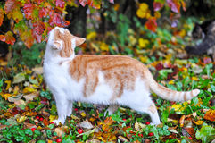 Cat sniffs leaves. Beautiful red and white cat sniffs leaves royalty free stock image