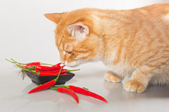 Cat   sniffs   red pepper Stock Photography