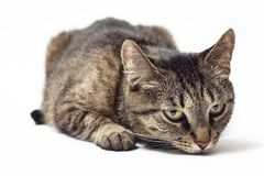 Cat sniffs on a white background.  royalty free stock image