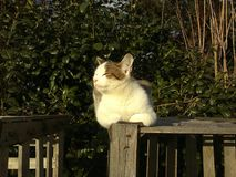 Cat sniffs on a wooden structure, the background is a bush wall. Image stock photography