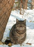 Cat in the snow. Tabby cat in the snow royalty free stock photos
