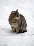 Cat on a snow. Grey cat sitting on a snow Royalty Free Stock Image