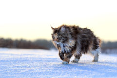Cat on snow. Maine Coon cat walk in winter field Royalty Free Stock Image