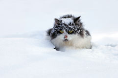 Cat in snow. Longhair cat covered with snow royalty free stock photo
