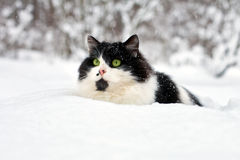 Cat in snow. Longhair cat covered with snow royalty free stock photography