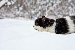 Cat in snow. Longhair cat sneaking in snow stock photo