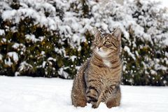 Cat in snow Royalty Free Stock Photos