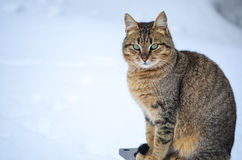Cat in the snow. Cat with amazing eyes sitting   in  the snow and looking at the camera Royalty Free Stock Photos