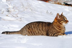 Cat in snow. Beautiful domestic pet feral cat in the snow Stock Photo