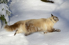 Cat in the Snow. A beautiful mixed breed, Siamese-Balinese, cat running in deep snow Royalty Free Stock Image