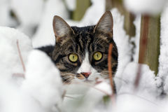 Cat in the snow. A cat with big yellow eyes, hiding behind some snowy bushes Stock Photography