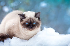 Cat in snow Royalty Free Stock Photography
