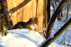 Cat in the snow. Domestic cat sitting in the snow Stock Image
