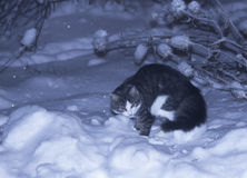 A cat on the snow Royalty Free Stock Photography