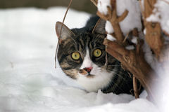 Cat in the snow, hiding behind a tree. A cat with big yellow eyes, hiding behind a tree Stock Photography