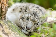 Cat snow leopard - Irbis, Uncia uncia. Beautiful cat snow leopard - Irbis, Uncia uncia, endangered species in world Royalty Free Stock Images