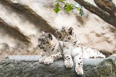 Cat snow leopard - Irbis, Uncia uncia. Beautiful cat snow leopard - Irbis, Uncia uncia, endangered species in world Royalty Free Stock Photos