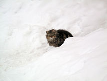 Cat in the Snow. Royalty Free Stock Image