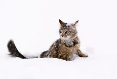 Cat in the snow. Photo cat sitting in the snow Stock Photography