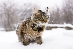 Cat in the snow. Photo white cat in a snow bank, which is all in the snow Royalty Free Stock Photo