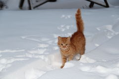 Cat snow. Red cat in the snow Stock Photo