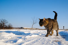Cat on Snow Stock Image
