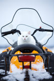 Cat in snowmobile. White cat on yellow snowmobile Royalty Free Stock Images