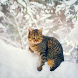 Cat in snowy forest Royalty Free Stock Photos