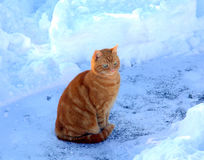 Cat in snowy outdoors. Alert ginger tabby sitting in the snow Stock Photography