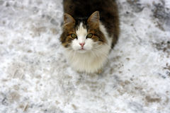 Cat on a snowy road. Royalty Free Stock Photos