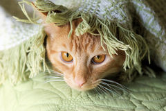 Cat snuggled in blanket. The kitty is enjoying a little rest Royalty Free Stock Photography