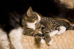 Cat snuggled up to dog Stock Photo