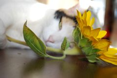 Free Cat Soaking Up The Sun With A Sunflower Stock Photography - 109506032