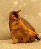 Cat and soap bubbles Royalty Free Stock Photos