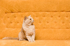 Cat on the sofa Royalty Free Stock Photography