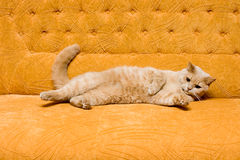 Cat on the sofa Stock Image