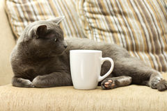 Cat on a sofa with white cup. Gray cat on a sofa with white cup Stock Image