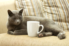 Cat on a sofa with white cup. Gray cat on a sofa with white cup Royalty Free Stock Images