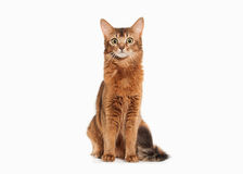 Cat. Somali cat ruddy color on white bakcground. Somali cat ruddy color on white bakcground Royalty Free Stock Images