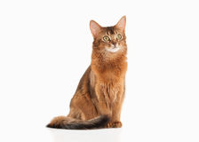 Cat. Somali cat ruddy color on white bakcground. Somali cat ruddy color on white bakcground Royalty Free Stock Image