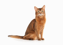 Cat. Somali cat ruddy color on white bakcground. Somali cat ruddy color on white bakcground Stock Images