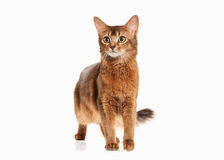 Cat. Somali cat ruddy color on white bakcground. Somali cat ruddy color on white bakcground Royalty Free Stock Photo