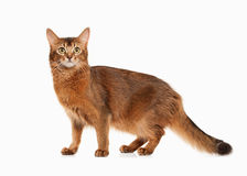Cat. Somali cat ruddy color on white bakcground. Somali cat ruddy color on white bakcground Stock Photo