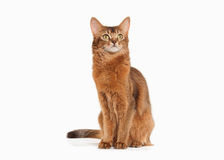 Cat. Somali cat ruddy color on white bakcground. Somali cat ruddy color on white bakcground Stock Photos