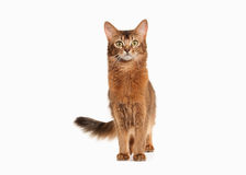 Cat. Somali cat ruddy color on white bakcground. Somali cat ruddy color on white bakcground Stock Image