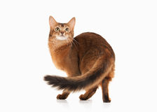 Cat. Somali cat ruddy color on white bakcground. Somali cat ruddy color on white bakcground royalty free stock photography