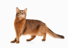 Cat. Somali cat ruddy color on white bakcground. Somali cat ruddy color on white bakcground stock photography